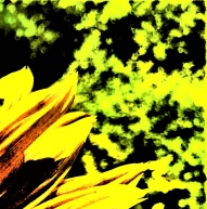 sunflower - Copy_003