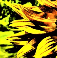 sunflower - Copy_004