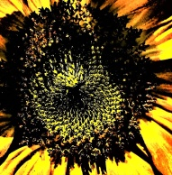 sunflower - Copy_005