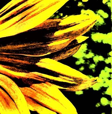 sunflower - Copy_006