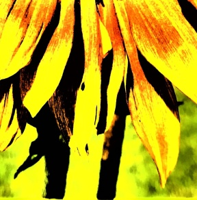 sunflower - Copy_008