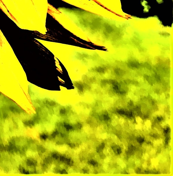sunflower - Copy_009